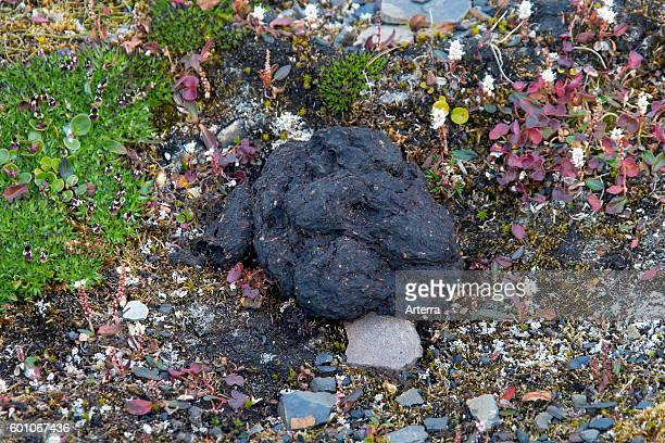 Polar bear close up of bear scat on the tundra floor Svalbard Norway