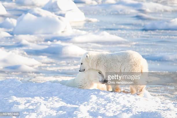 Polar Bear cub cuddling with mom.