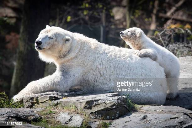 Polar bear cub Hertha and her mother Tonja at the Tierpark Berlin zoo on April 04 2019 in Berlin Germany