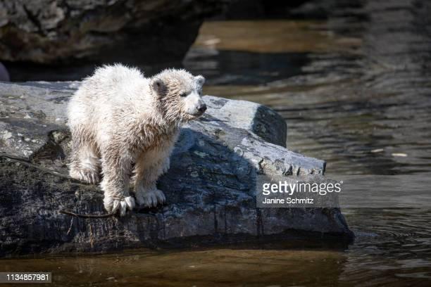 Polar bear cub Hertha at the Tierpark Berlin zoo on April 04 2019 in Berlin Germany