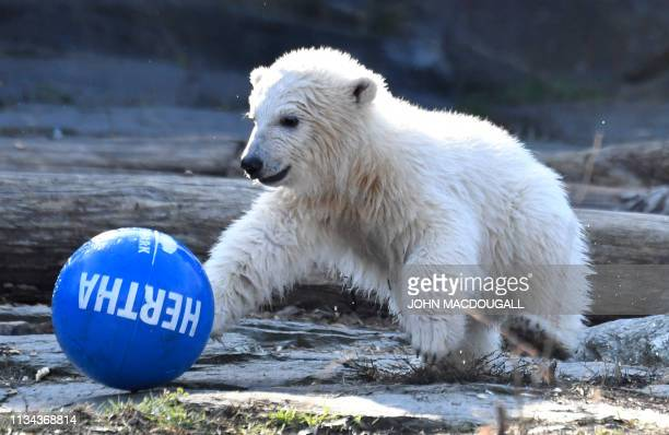 Polar bear cub Hertha plays with a ball after she was given her name on April 2 2019 at the Tierpark zoo in Berlin The female cub was born at the zoo...