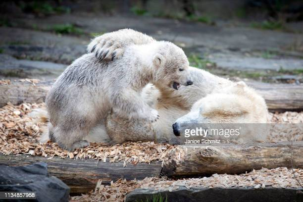 Polar bear cub Hertha plays with her mother Tonja at the Tierpark Berlin zoo on April 04 2019 in Berlin Germany
