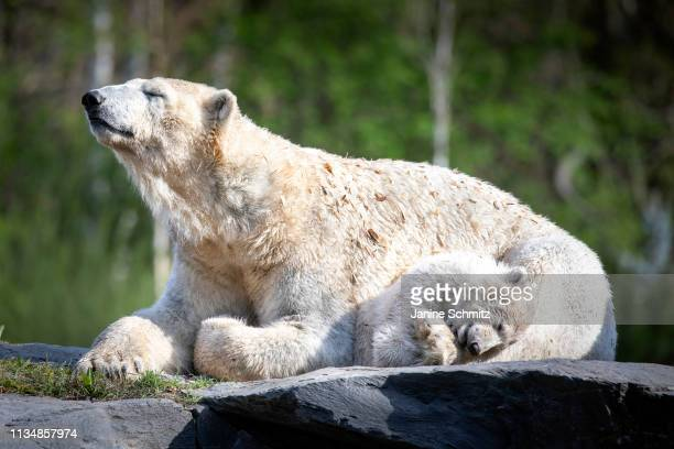 Polar bear cub Hertha sleeps next to her mother Tonja at the Tierpark Berlin zoo on April 04 2019 in Berlin Germany