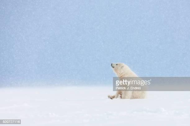 Polar bear cub in falling snow.