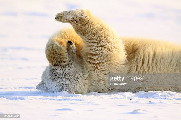 Polar bear cub in the snow