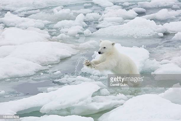 Polar bear cub jumping from ice flow to ice flow