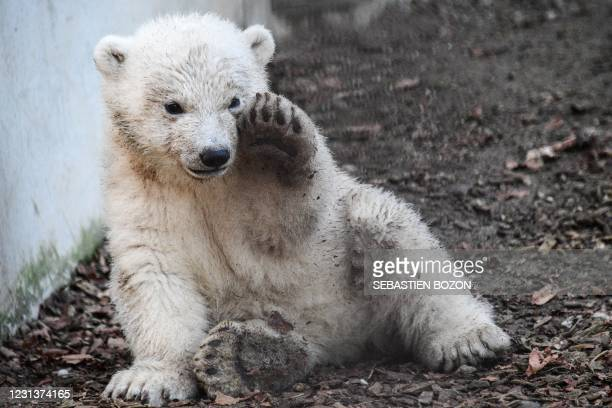 Polar bear cub named Kara, plays in its enclosure at the Zoological and Botanical park in Mulhouse, eastern France, on February 25, 2021. - The polar...
