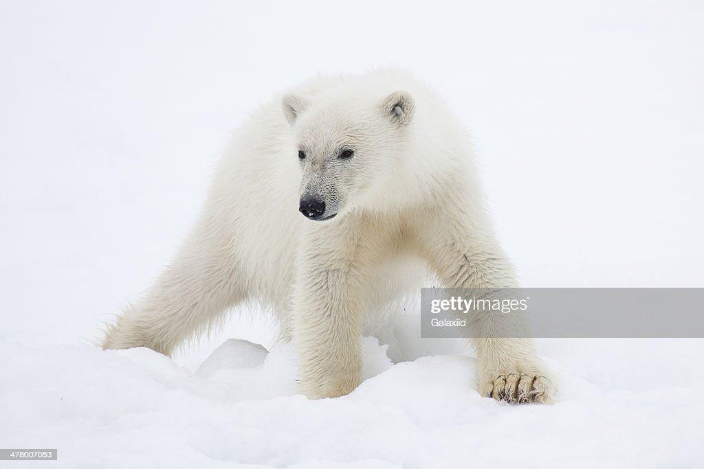 Polar Bear Cub on Snow : ストックフォト