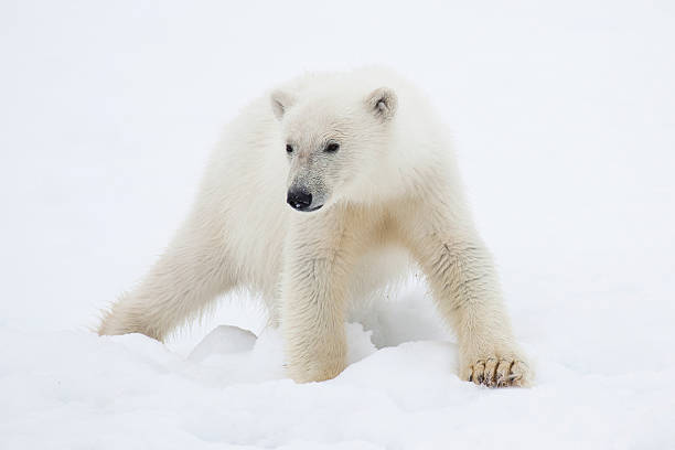 Polar Bear Cub On Snow Wall Art