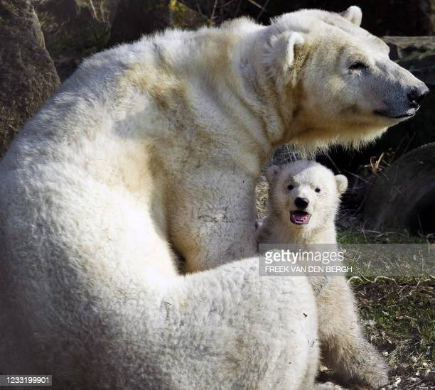 Polar bear cub, one of twins sits with it's mother outside their den for the first time in the Zoo in Rhenen on February 21 2011. The polar bear is...