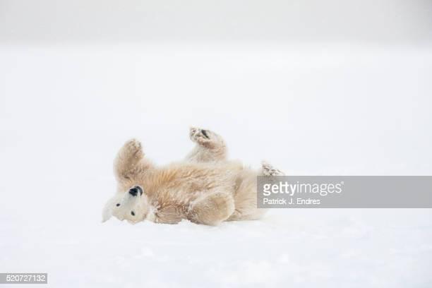 polar bear cub rolls in the snow - polar bear stock pictures, royalty-free photos & images