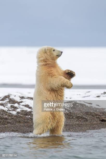polar bear cub standing - einzelnes tier stock-fotos und bilder