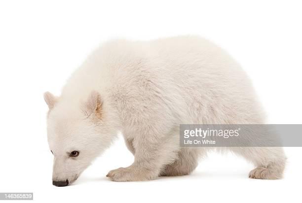 Polar bear cub tracking
