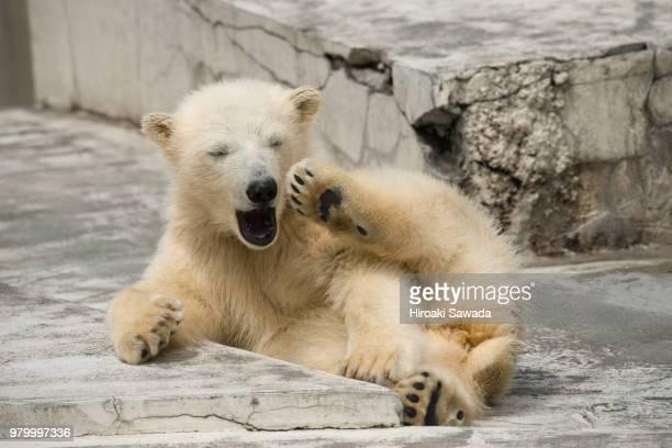 A polar bear cub yawning in a zoo.