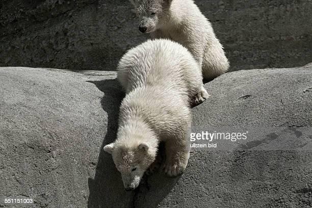 2 Polar Bear Cubs looking down from ledge Hellabrunn Zoo Munich Upper Bavaria Germany Europe