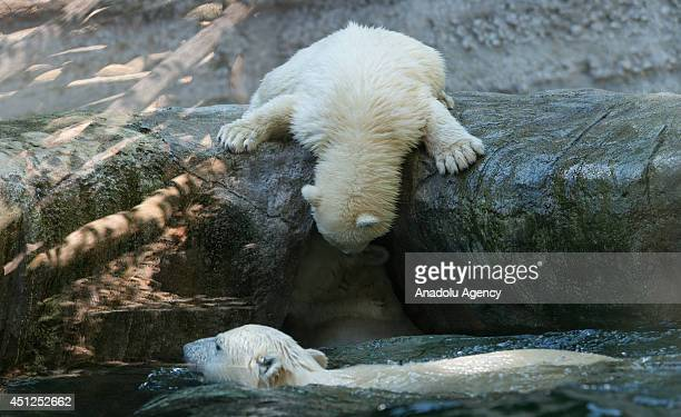 Polar bear cubs Nela and Nobby swim in their enclosure at Tierpark Hellabrunn in Munich June 26 2014 The seven months old polar bear cubs are now...