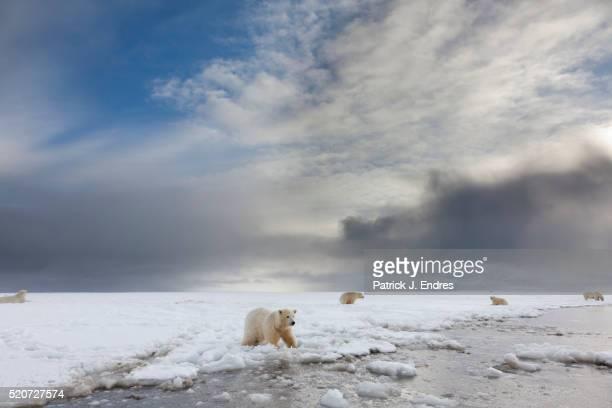 polar bear cubs - national wildlife reserve stock pictures, royalty-free photos & images