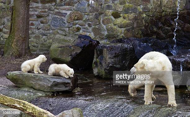 Polar bear cubs set foot outside their den for the first time in the Zoo in Rhenen on February 21 2011 The polar bear is listed as a endangered...