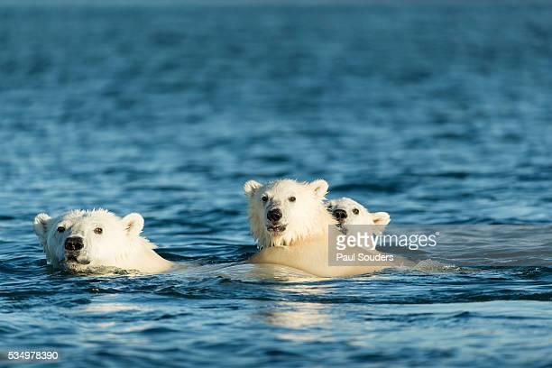 Polar Bear Cubs Swimming, Hudson Bay, Nunavut, Canada