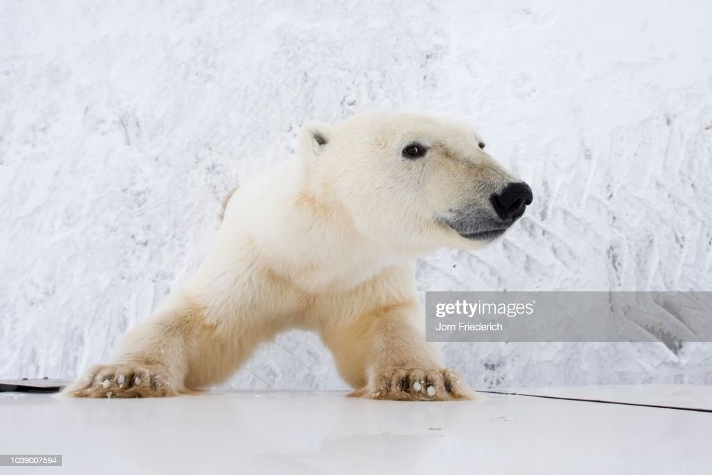 Polar Bear (Ursus maritimus), curious, leaning up against a Tundra Buggy in Churchill, Manitoba, Canada : Stock Photo