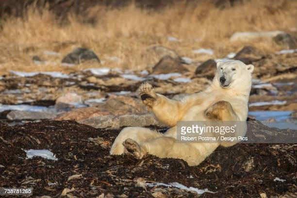 polar bear (ursus maritimus) doing sit ups along hudson bay, near churchill - hudson bay stock photos and pictures