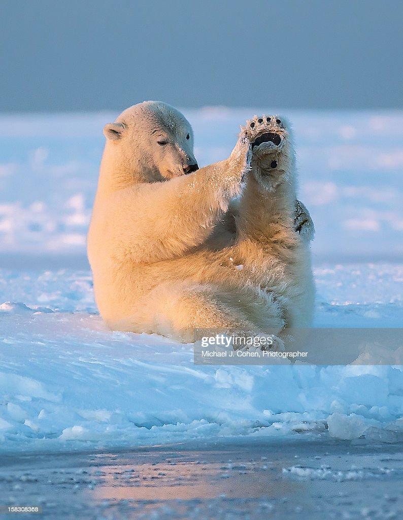Polar Bear Doing some Yoga : Stock Photo