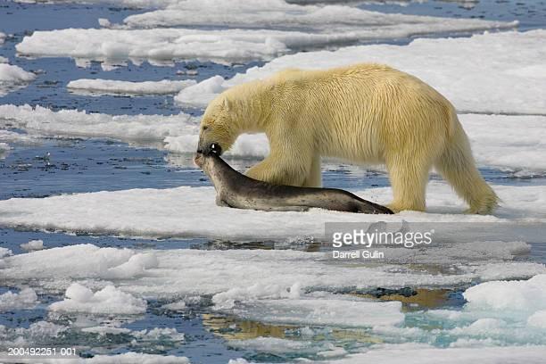 Polar bear (Ursus maritimus) dragging dead ringed seal (Phoca hispida)