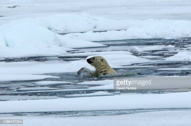 polar bear emerging from water - pack ice stock pictures, royalty-free photos & images