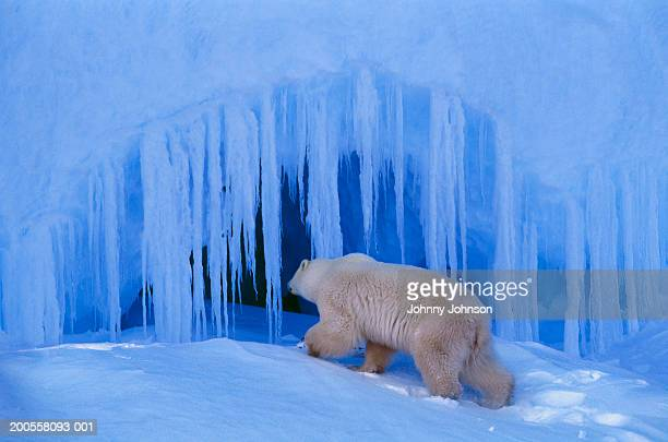 polar bear (ursus maritimus) entering ice cave - bear tracks stock pictures, royalty-free photos & images