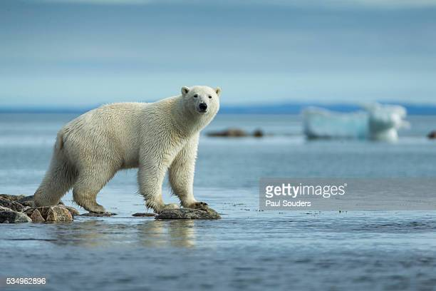 polar bear enters water of repulse bay, nunavut, canada - pack ice stock pictures, royalty-free photos & images