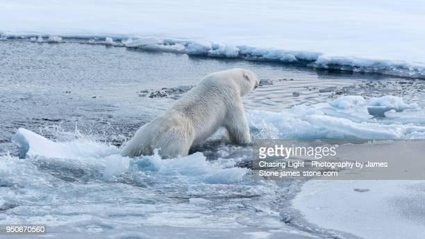 polar bear falling through ice into water - polarklima stock-fotos und bilder