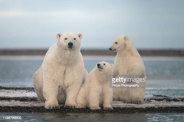 polar bear family from alaska - animal family stock pictures, royalty-free photos & images