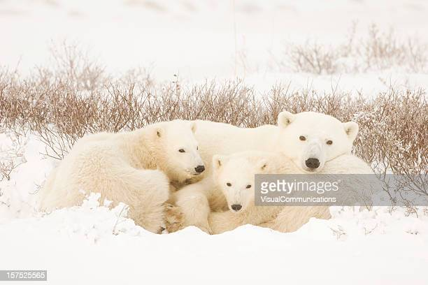 polar bear family in a landscape covered in snow - manitoba stock pictures, royalty-free photos & images