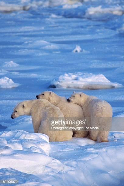 polar bear family in arctic - 三匹 ストックフォトと画像