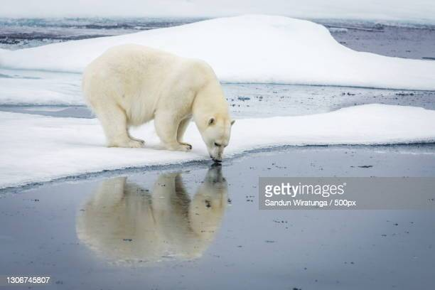 a polar bear feeding its baby - pack ice stock pictures, royalty-free photos & images