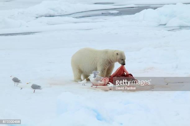 A Polar Bear feeding on a Bearded Seal carcass