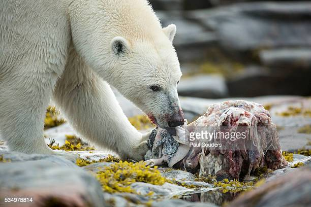 polar bear feeding on harbour islands, hudson bay, nunavut, canada - narwhal stock photos and pictures