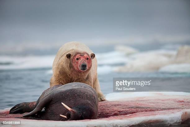 polar bear feeding on walrus, hudson bay, nunavut, canada - walrus stock photos and pictures