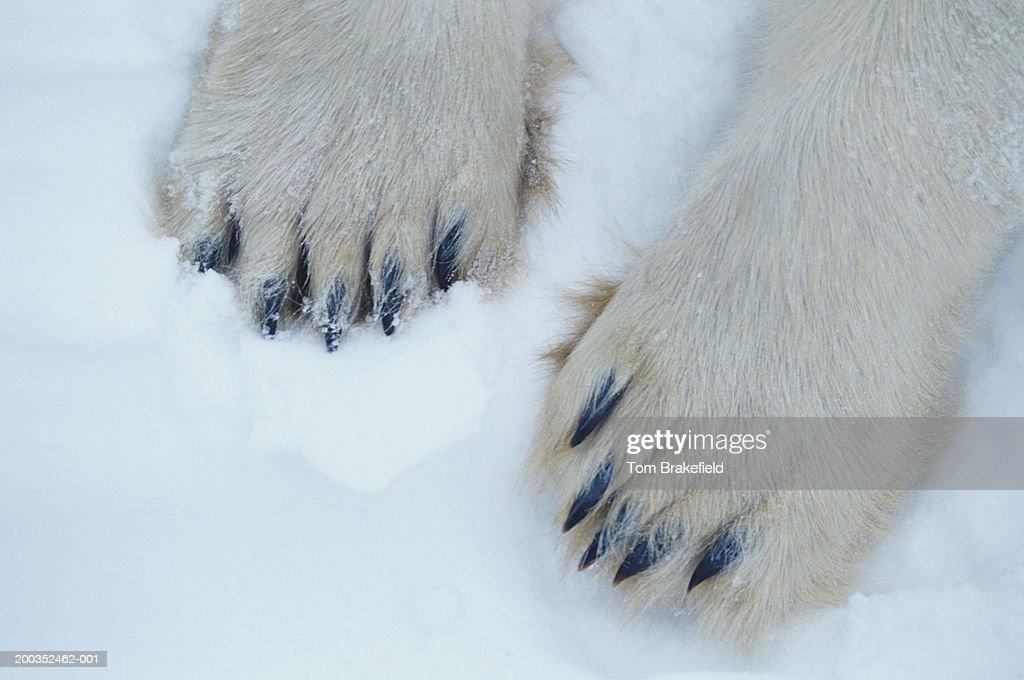 Polar bear (Ursus maritimus) feet, close-up, Canada : Stock-Foto
