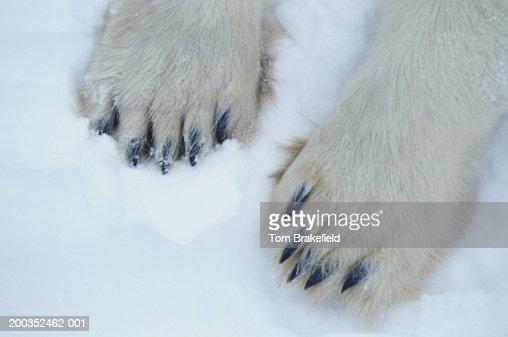 Polar bear (Ursus maritimus) feet, close-up, Canada