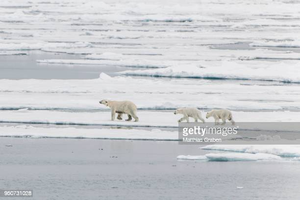 Polar bear (Ursus maritimus), female with radio collar and two cubs on an ice floe, pack ice edge, Spitsbergen, Norway