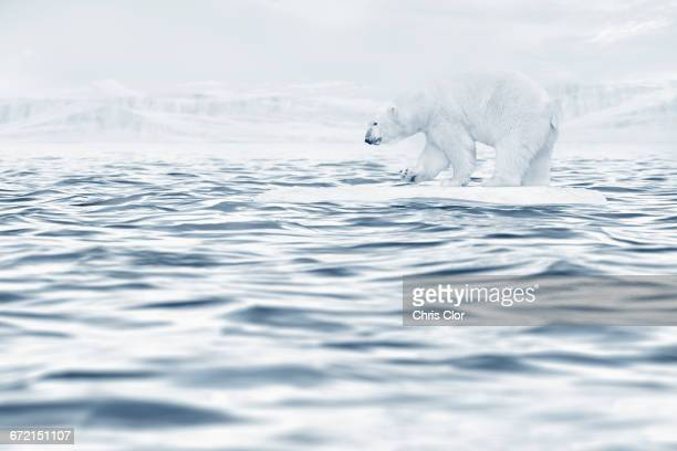 Polar bear floating on ice floe in ocean