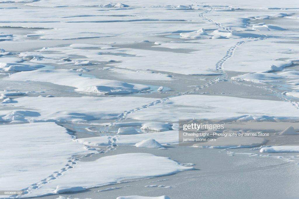 Polar Bear footprints leaving tracks in the snow : Stock Photo