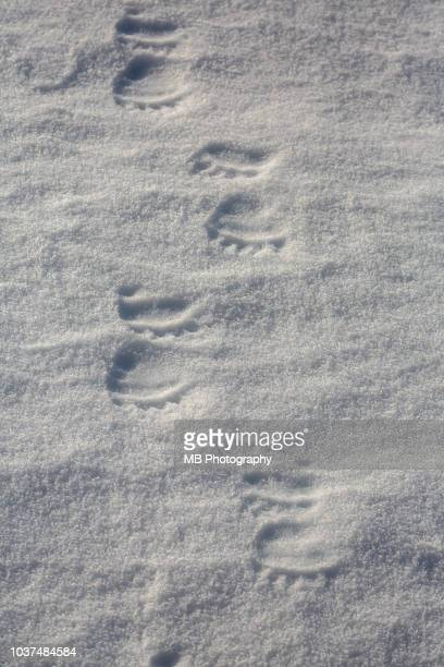 polar bear footprints - bear tracks stock pictures, royalty-free photos & images