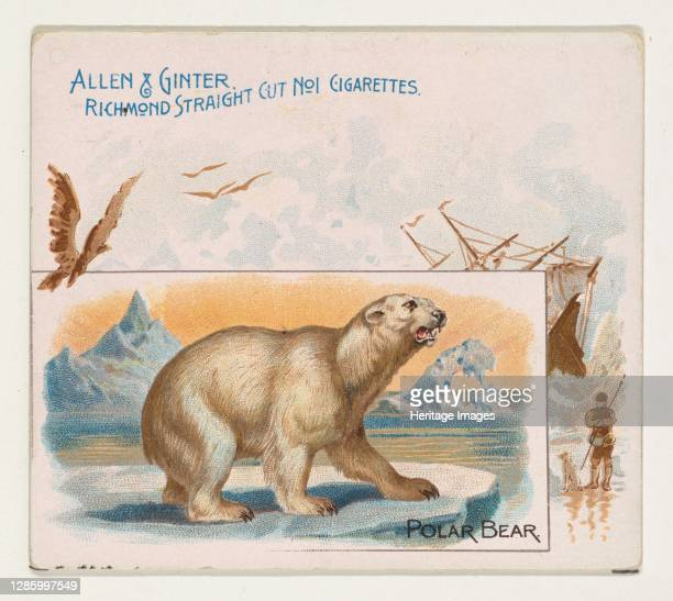 Polar Bear, from Quadrupeds series for Allen & Ginter Cigarettes, 1890. Artist Allen & Ginter.