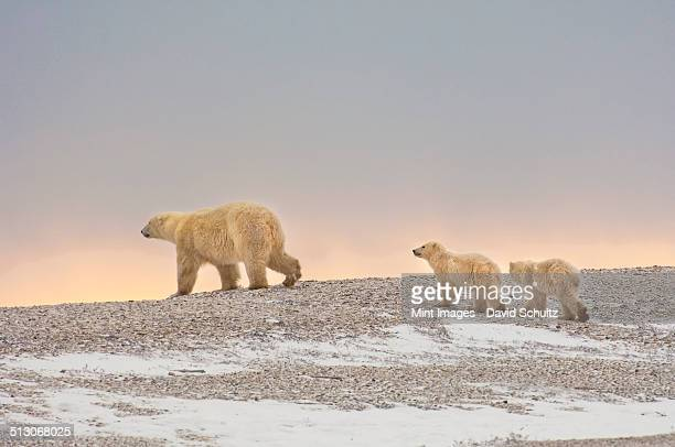 A polar bear group in the wild at sunset. An adult and two cubs.