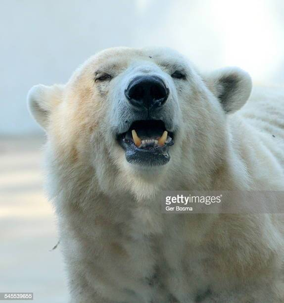 Polar Bear Growl