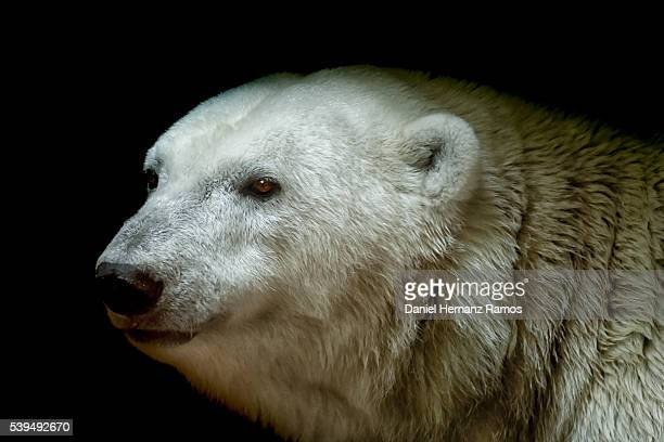 polar bear headshot. detailed view. ursus maritimus - polar bear stock pictures, royalty-free photos & images