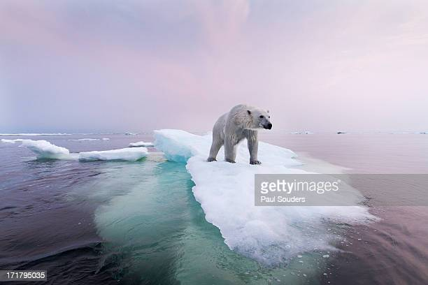 polar bear, hudson bay, canada - ice floe stock pictures, royalty-free photos & images