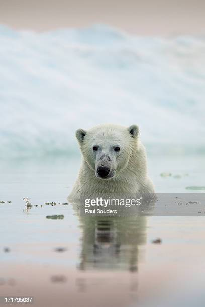 polar bear, hudson bay, canada - hudson bay stock photos and pictures
